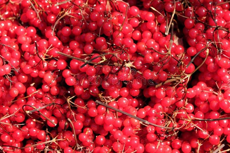 与许多成熟束庄稼的静物画作为背景特写镜头视图的荚莲属的植物莓果 库存图片