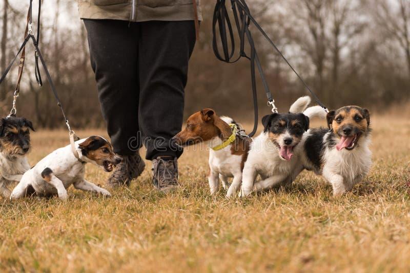与许多狗的所有者步行在皮带-起重器罗素狗 库存图片