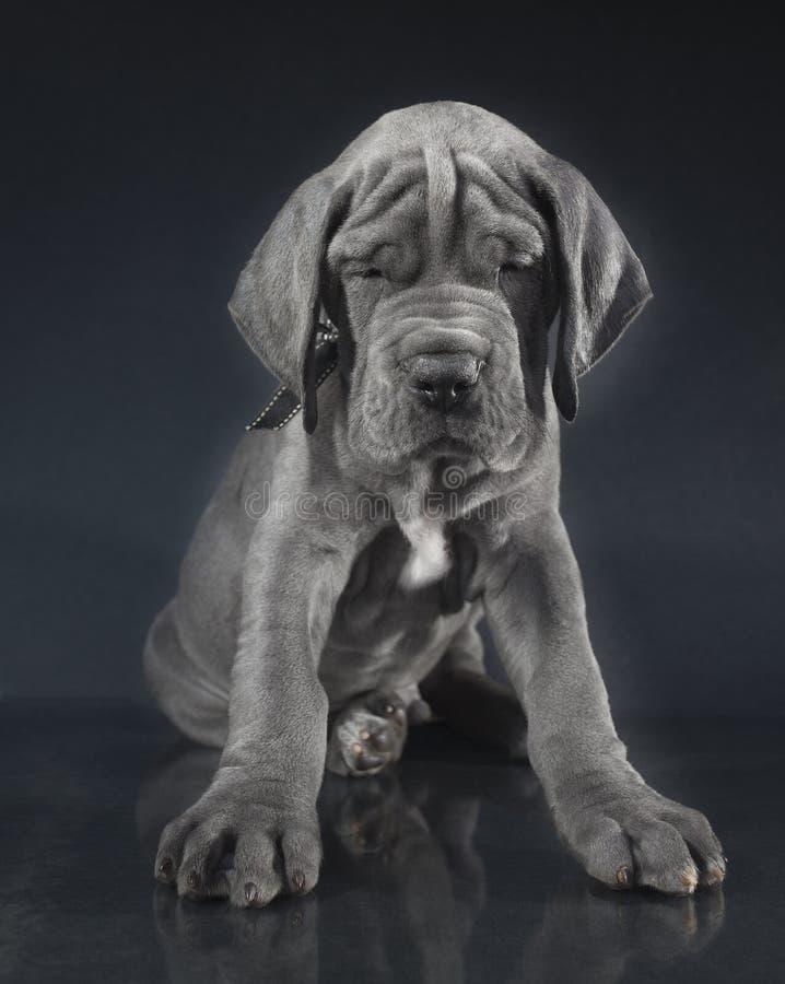 与许多的纯血统小狗皱痕 免版税库存图片