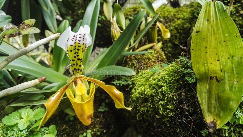 与许多的黄色兰花种类植物 免版税库存照片