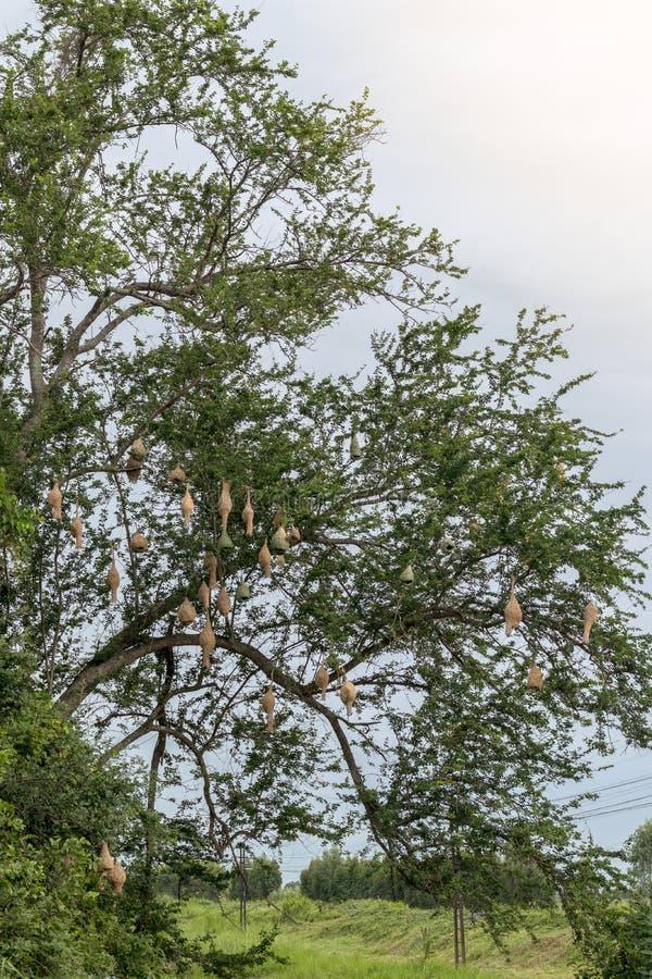 与许多罗望子树分支的云雀巢 免版税图库摄影