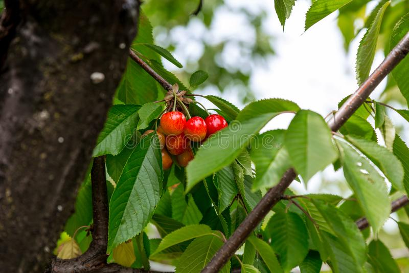 与词根的新鲜的有机红色樱桃 库存例证