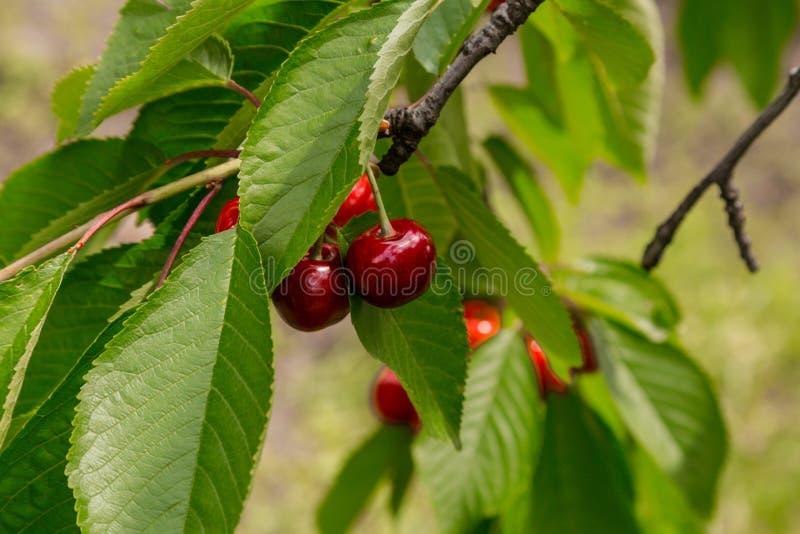 与词根的新鲜的有机红色樱桃 皇族释放例证