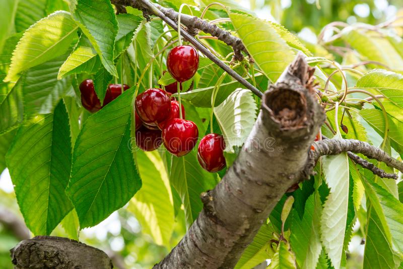 与词根的新鲜的有机红色樱桃 向量例证
