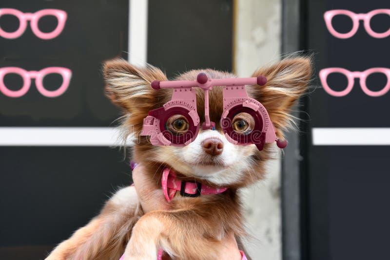 与试验框架的逗人喜爱的小的奇瓦瓦狗小狗在眼镜师商店前面 免版税库存图片