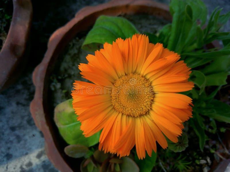 与详细的瓣的俏丽的橙色新鲜的庭院花 图库摄影