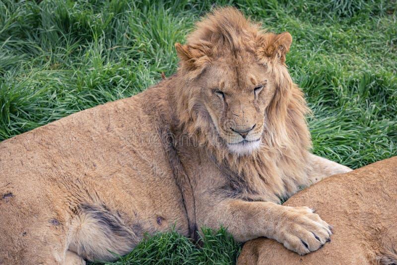 与说谎在绿草的雌狮的一头幼小狮子 库存照片