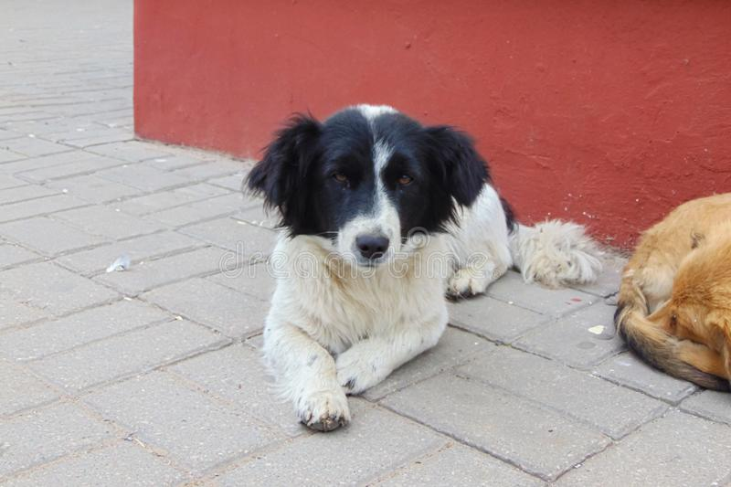 与说谎在边路的黑耳朵的白色狗 免版税库存图片