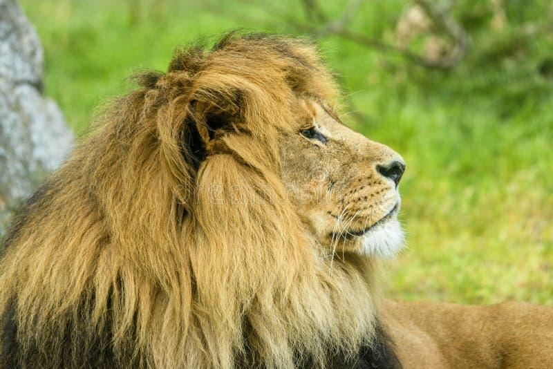与说谎在领域的一根大鬃毛的公狮子 库存照片