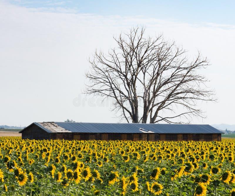 与谷仓的向日葵 免版税图库摄影