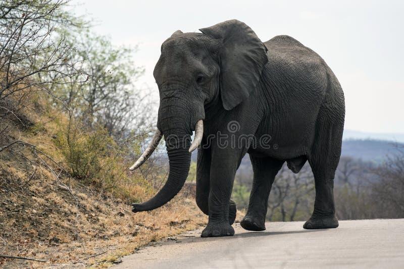 与象牙象牙的大男性大象非洲象属africana在大头钉, 库存照片