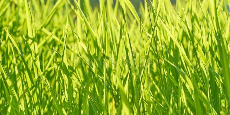 与豪华的鲜绿色的草的背景在一个晴朗的夏日 免版税图库摄影