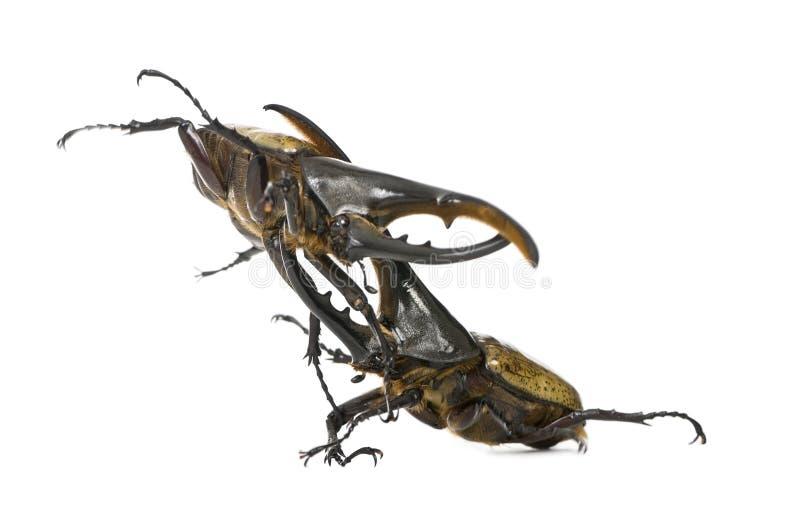 与赫拉克勒斯战斗的甲虫 库存图片