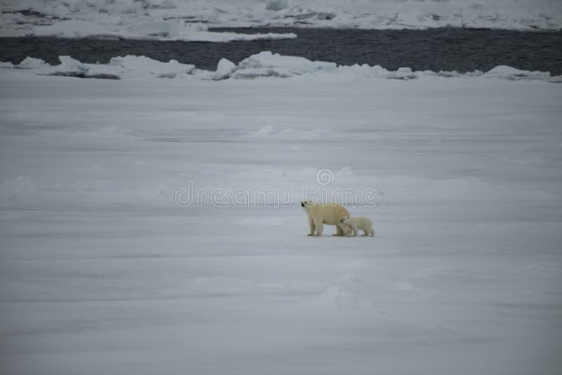 与走在北极的崽的北极熊 免版税图库摄影