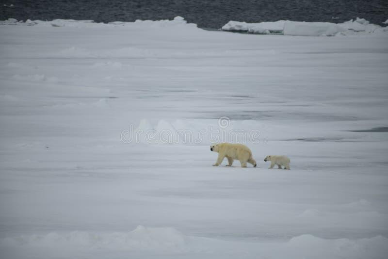 与走在北极的崽的北极熊 免版税库存图片