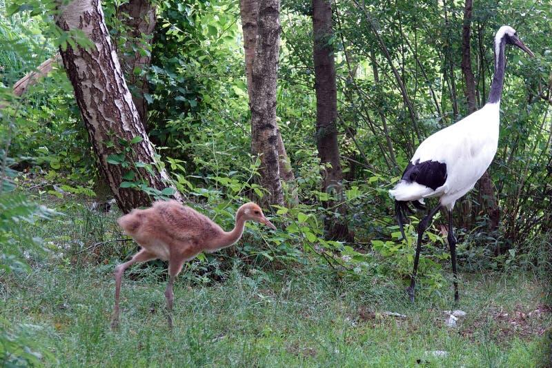 与走在森林里的年轻小鸡的日本红色被加冠的起重机鸟 免版税库存照片