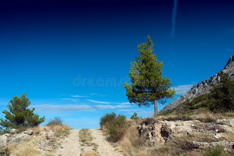 与路的杉树 图库摄影