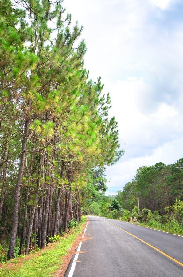 与路的杉树 免版税库存图片
