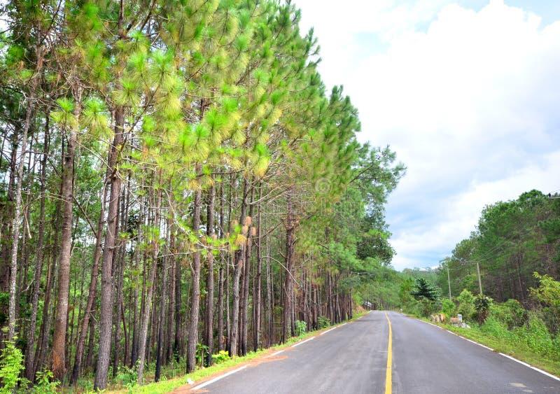 与路的杉树 库存照片