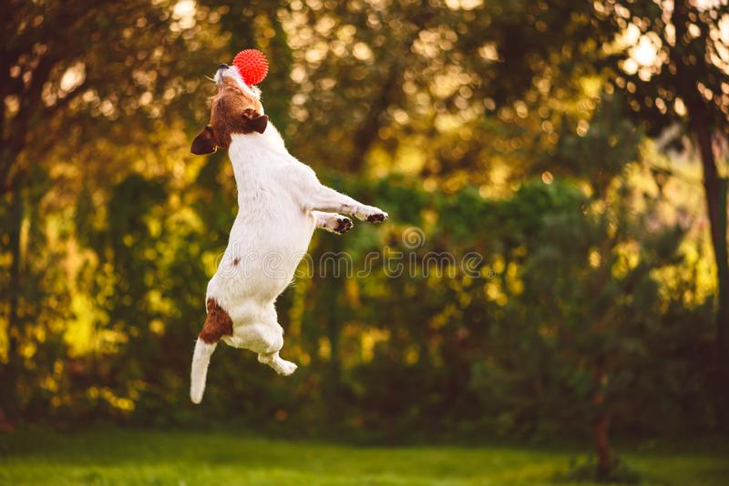 与跳跃的狗的敏捷性训练拿到玩具球 图库摄影