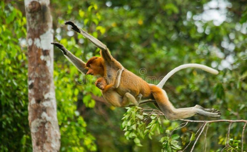 与跳跃的婴孩的母长鼻猴从树到树在密林 印度尼西亚 婆罗洲加里曼丹的海岛 库存图片