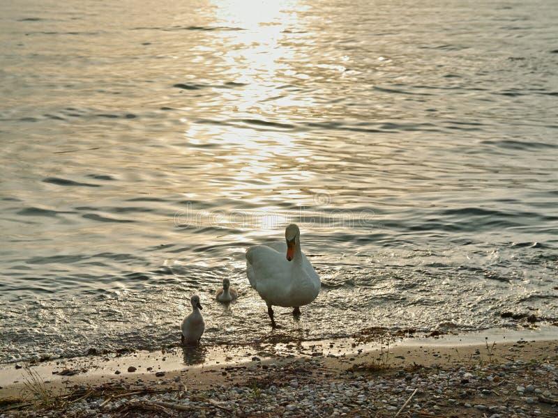 与蹒跚地走的小天鹅的天鹅支持在晚上心情 免版税库存照片