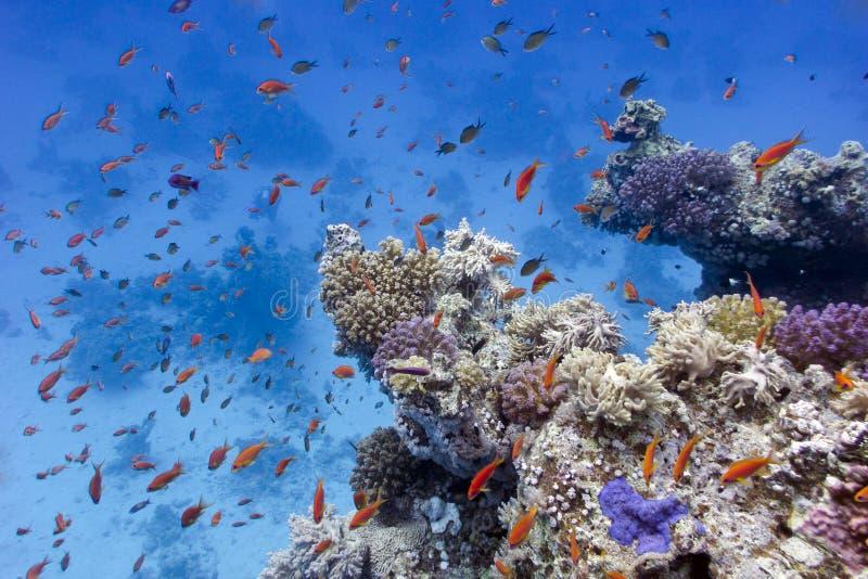 与软和困难珊瑚的珊瑚礁在红海底层  图库摄影