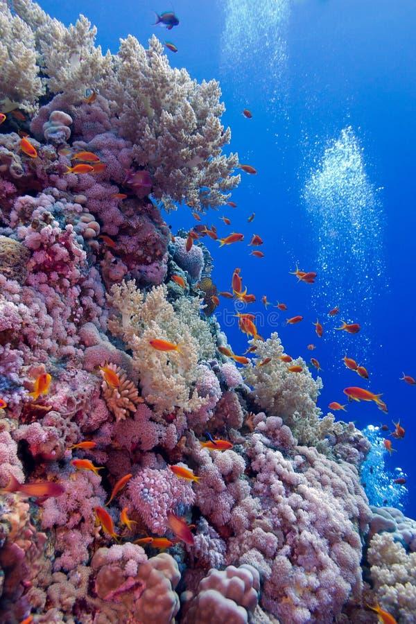 与软和坚硬珊瑚的五颜六色的珊瑚礁与在热带海底部的异乎寻常的鱼  免版税库存图片