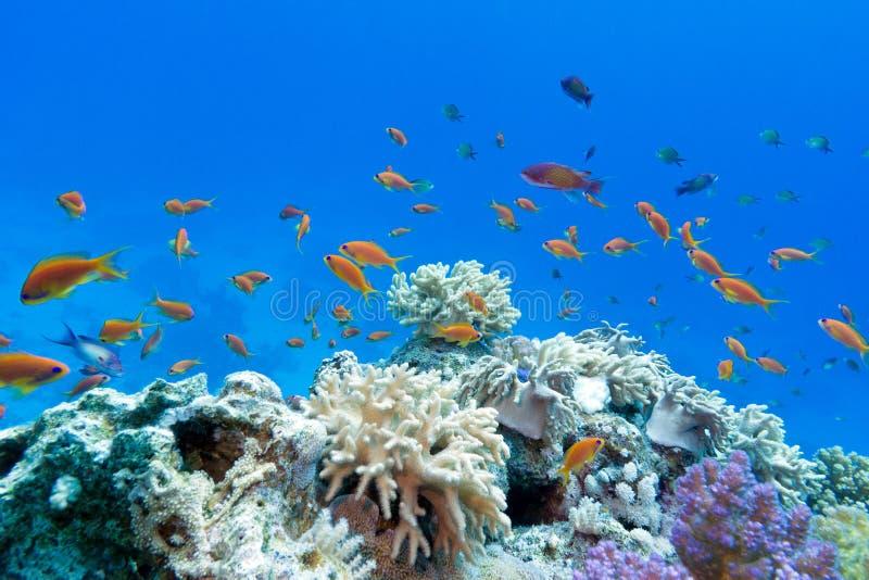 与软和坚硬珊瑚的珊瑚礁与异乎寻常的鱼anthias在热带海 库存照片