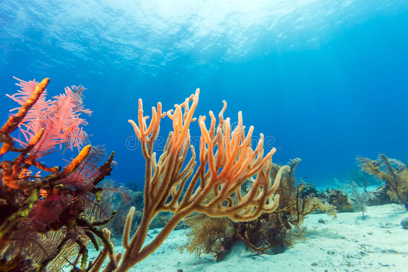 与软和坚硬珊瑚, Cayo的水下的背景缓慢地 图库摄影