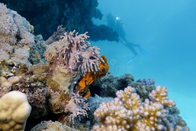 与软的珊瑚和潜水员的珊瑚礁 免版税库存图片