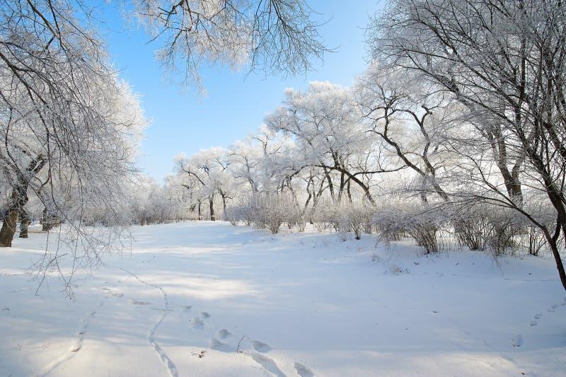 与软的霜和雪的树 免版税库存照片