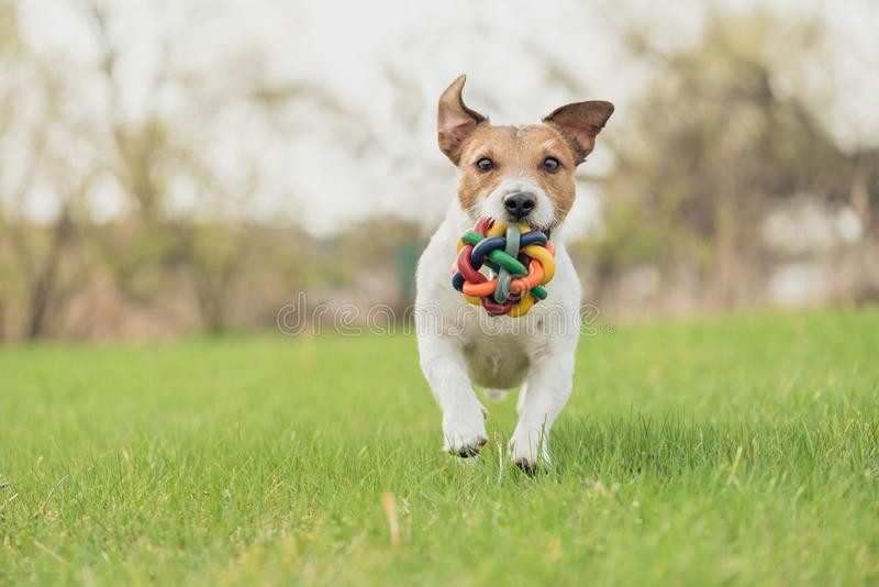 与运行和使用在春天新鲜的绿草草坪的五颜六色的玩具的愉快的狗 免版税库存照片