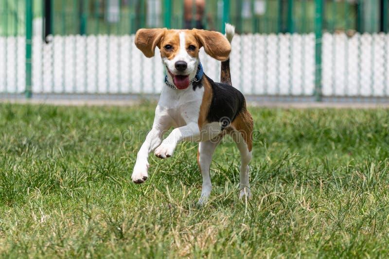 与运行在与一张愉快的兴高采烈的面孔的草的滚动的懒散的耳朵的小猎犬狗 图库摄影