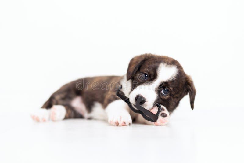 与运行在屋子附近和使用与玩具塑料玻璃的垂悬的耳朵的新出生的逗人喜爱的蓬松棕色羊毛衫小狗 图库摄影