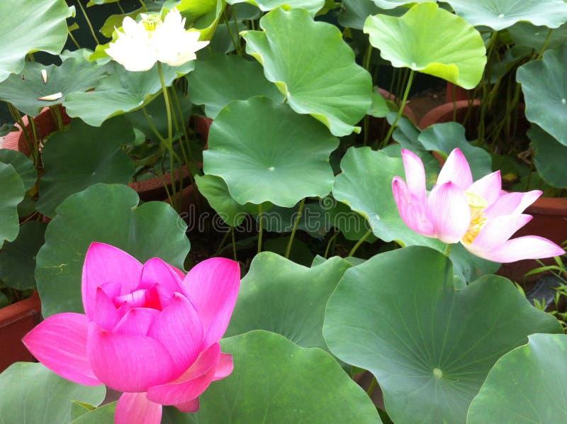 与这露水的莲花 免版税库存图片