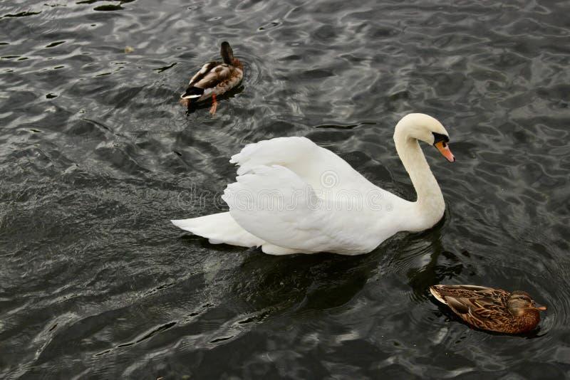 与追逐两只鸭子的精采白色天鹅在一条黑河 免版税库存照片