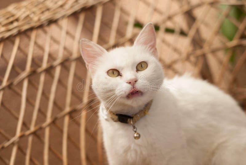 与选址的美丽的白色猫在椅子 免版税图库摄影