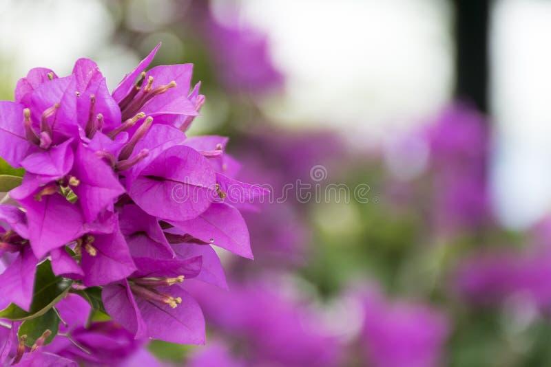 与选择聚焦的桃红色花背景 紫色Bougainvillea& x27; s植物群 库存图片