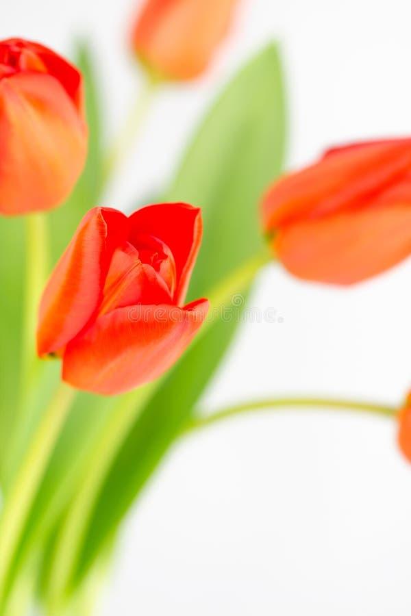 与选择聚焦的橙色郁金香花 库存照片