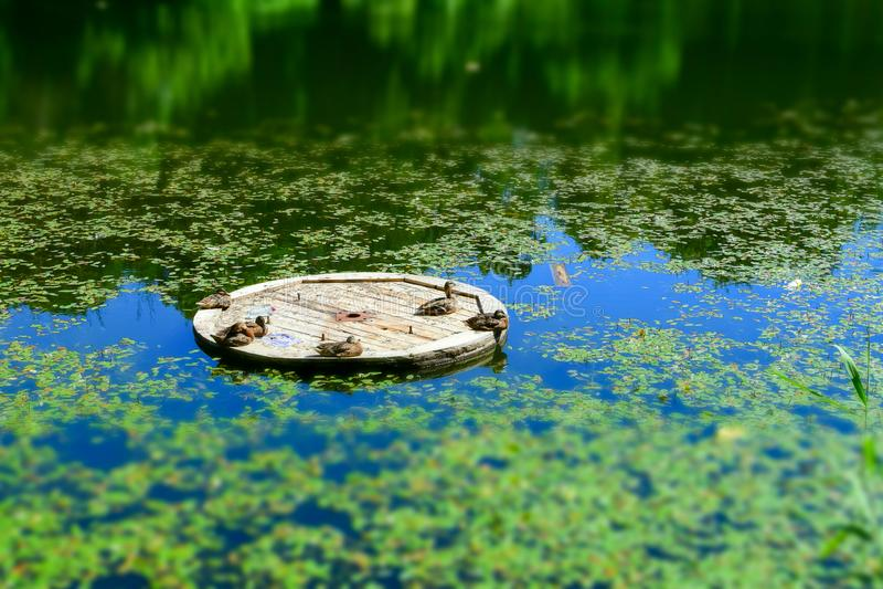 与选择聚焦的风景 鸭子在一艘木木筏取暖在阳光下在湖中间 r 免版税库存图片