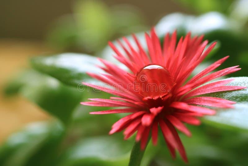 与透明的水滴的充满活力的桃红色婴孩太阳罗斯开花的花在它的花粉 免版税库存照片