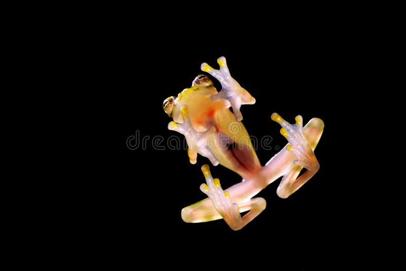 与透明皮肤,可看见的器官,心跳的玻璃青蛙 Raticulated玻璃青蛙, Hyalinobatrachium valerioi,绿色热带前面 库存照片