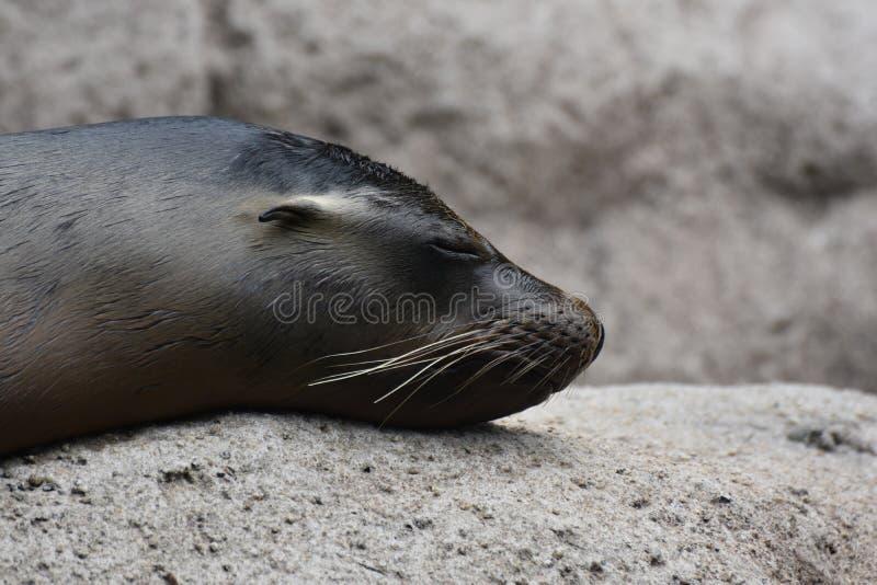 与逗人喜爱的小的耳朵的讨人喜欢的海狮 库存图片