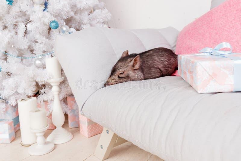 与逗人喜爱的新出生的黑猪的圣诞节和新年卡片在沙发 年中国人日历的装饰标志 库存照片