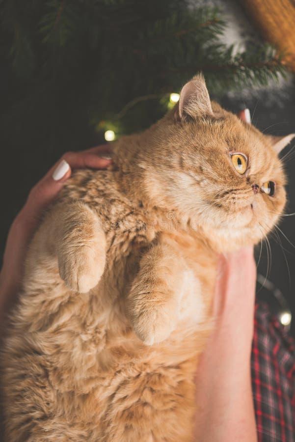 与逗人喜爱的爪子的姜异乎寻常的猫 库存图片