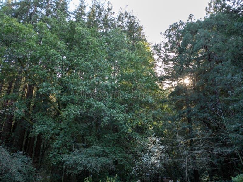 与通过偷看的阳光的红木树 库存图片