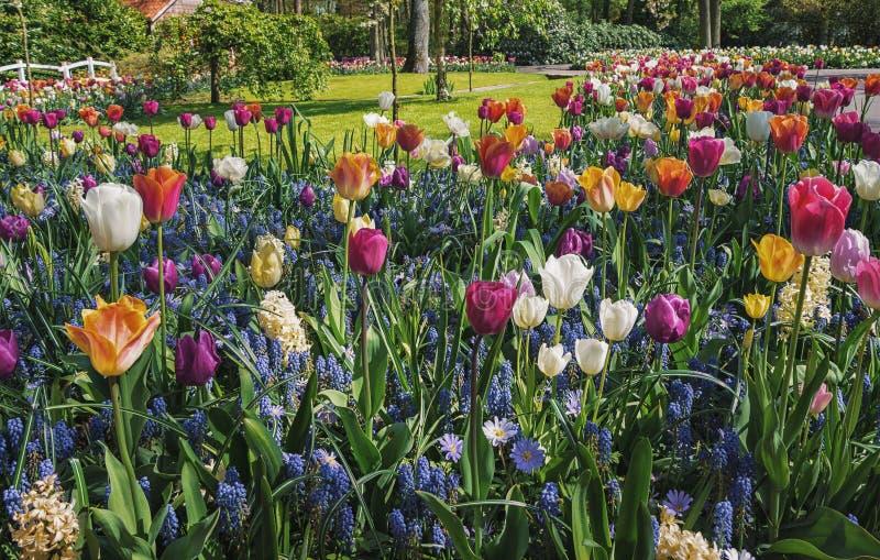 与郁金香的五颜六色的花床 库存图片