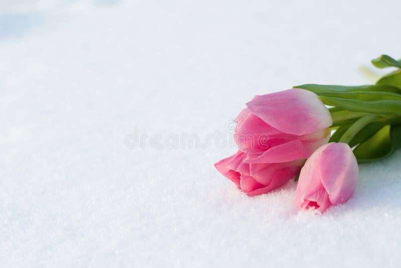 与郁金香的春天卡片在雪 免版税库存图片