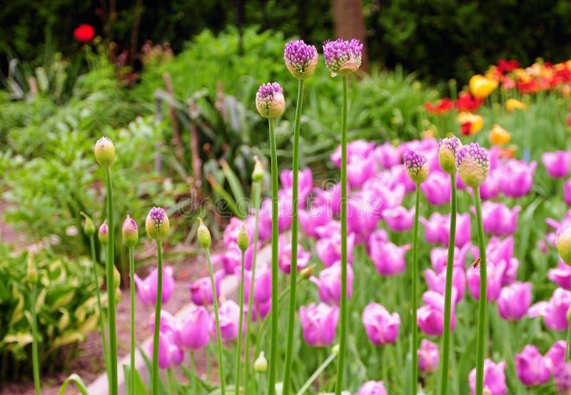 与郁金香的美丽的紫色葱属giganteum在背景 库存照片